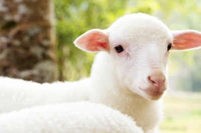 LAMB OF GOD: