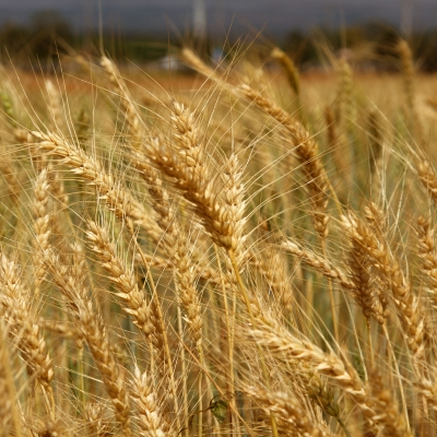 WHEAT AND TARES IN THE END TIMES CHURCH